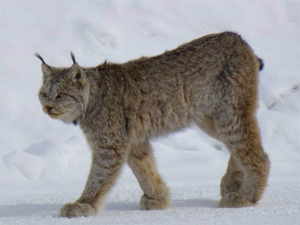 Lynx spotted in Sault Ste. Marie's east end