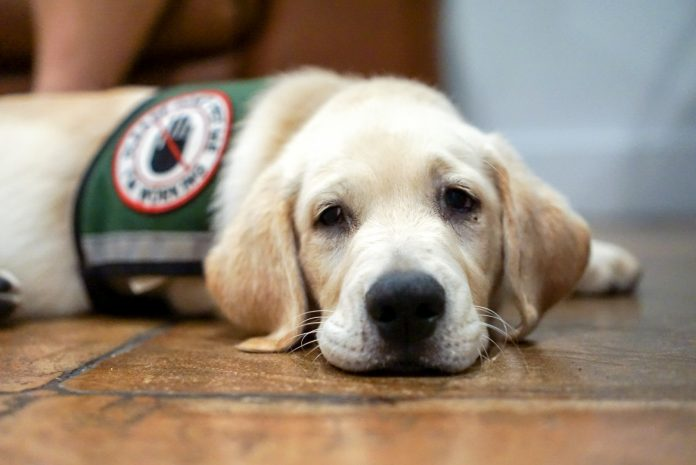 Service Dog in Training