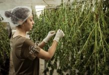 Cannabis Worker