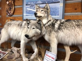 Wolves in Agawa